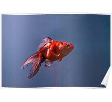 Goldfish in Suspension Poster
