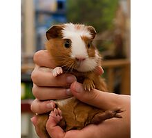 Handful of Baby Guinea Pig Photographic Print