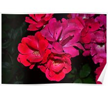 A Family of Bright Pink Roses Poster