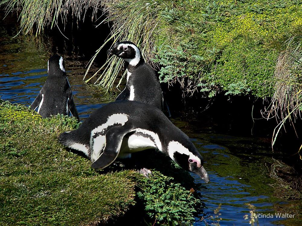Magellanic Penguins ~ Punta Arenas, Chile by Lucinda Walter