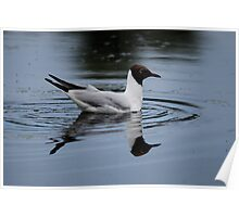 Black Headed Gull Poster
