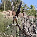 """""""Here I come!"""" Ferruginous Hawk by Sherry Pundt"""