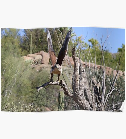 """Here I come!"" Ferruginous Hawk Poster"