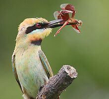 ''The Trophy'' Rainbow-Bee-eater by bowenite