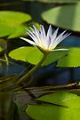 Standing Tall - Blue Nile Waterlily by Helen Vercoe
