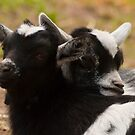 Two Black and White Goat Kids by ArianaMurphy