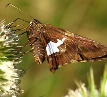 Silve Spotted Skipper on White Teasle by Ron Russell