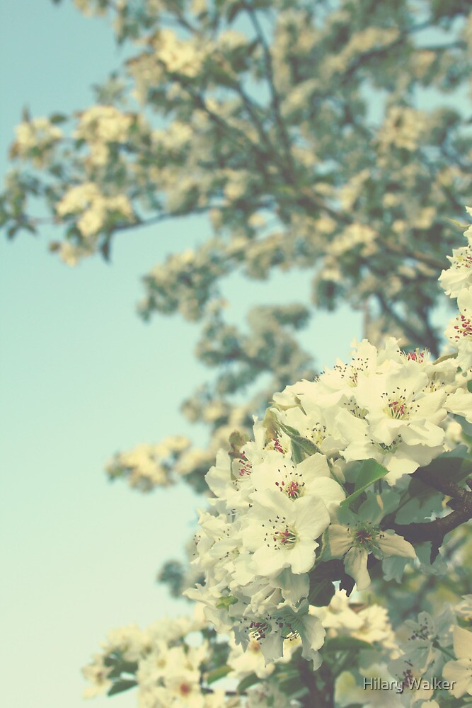 Pear Blossoms by Hilary Walker