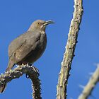 Curved-billed Thrasher ~ I Know Your Watching Me by Kimberly P-Chadwick