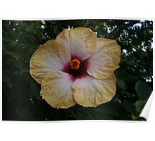 Hibiscus, Hybrid form. yellow  Poster