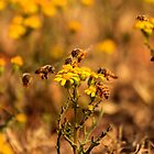 Busy Bees Collection 001 {Common honey bees (Apis mellifera) Free State, South Africa} by Qnita