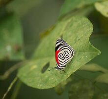 Butterfly with nice wing design by Philippe Widling
