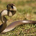 Eastern Brown Snake by Steve Bullock