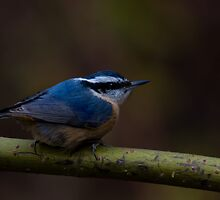Masked Bandit Red Breasted Nuthatch  by Gashphotography