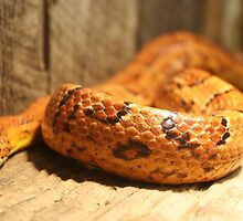 Corn Snake by Paulette1021