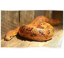 Corn Snake Poster
