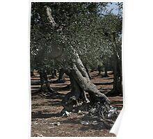 Olive Tree - Puglia Italy Poster