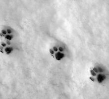 Paw prints on snow by Kingsfairy