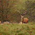 Red Deer Stag at Studley Royal - Ripon by Kat Simmons