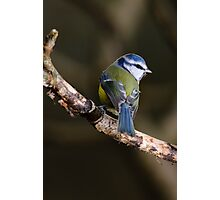 Blue tit, The Rower, County Kilkenny, Ireland Photographic Print
