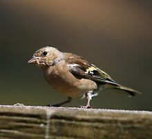 Female Chaffinch by GreyFeatherPhot