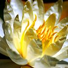 White waterlily (Nymphaea odorata rosea) by Meeli Sonn