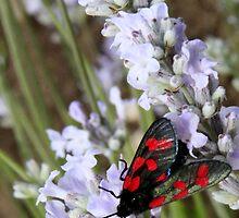 Burnet Moth  by Sue Tyler