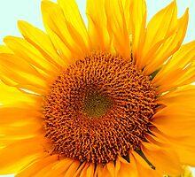 Sunflower by Susan Werby