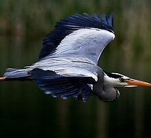 The Grey Heron by snapdecisions