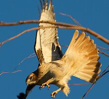 112010 Red Tailed Hawk by Marvin Collins