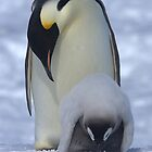 Emperor Penguins 12 - Merry Christmas Card by Steve Bulford