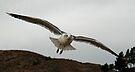 Soaring Seagull by Corri Gryting Gutzman