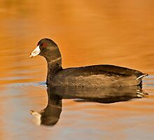 An American Coot  by Daniel  Parent