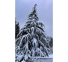 Snow Laden Photographic Print