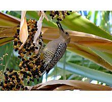 Gila Woodpecker & Berri~licious  Photographic Print