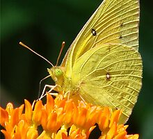 Cloudless Sulphur On Butterfly Weed by Jean Gregory  Evans