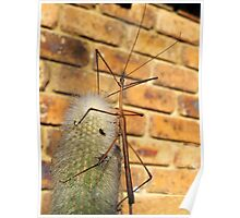 Stick Insect on Cactus Poster