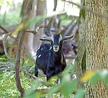 Smiling Goat by Susan S. Kline
