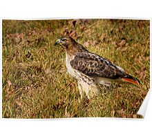 Regal Red Tail Poster