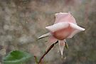 Pink Rose Bud by Eve Parry
