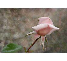 Pink Rose Bud Photographic Print
