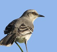 Tropical Mockingbird by hummingbirds