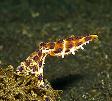 midring blue-ringed octopus (hapalochlaena) by spyderdesign
