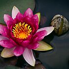 Water Lilly by Jennifer Bailey