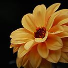Yellow Dahlia by Matthew Folley