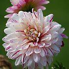 Pink & White Dahlia by Matthew Folley