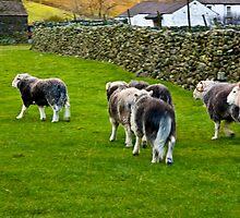 Ba Ba Herdwick Sheep by Trevor Kersley