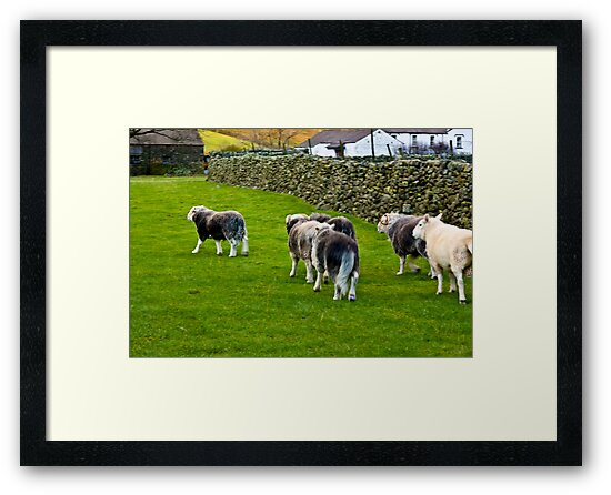 Ba Ba Herdwick Sheep by Trevor Kersley