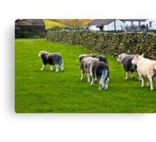 Ba Ba Herdwick Sheep Canvas Print
