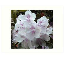 White Azalea Blossom Art Print